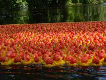 Nærbillede af ænder i åen ved Munke Mose